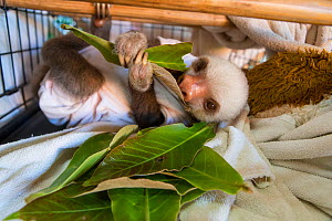 Hoffmann's two-toed sloth (Choloepus hoffmanni) orphaned sloth wearing cloth after being treated for skin burn, Aviarios Sloth Sanctuary, Costa Rica.  -  Suzi Eszterhas