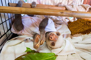 Hoffmann's two-toed sloth (Choloepus hoffmanni) orphaned sloth wearing cloth after being treated for skin burn, Aviarios Sloth Sanctuary, Costa Rica  -  Suzi Eszterhas