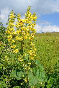 Mullein (Verbascum sp.) flowering spike on Mount Piva plateau with the mountains of Sutjeska National Park in nearby Bosnia and Herzegovina, background, near Trsa, Montenegro, July.  -  Nick Upton