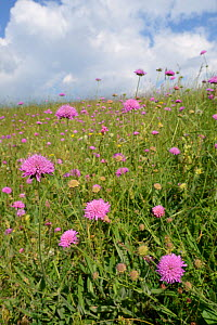 Purple scabious (Knautia purpurea) flowering in profusion on Piva plateau, near Trsa, Montenegro, July. - Nick Upton