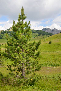 Young Black pine / Austrian pine (Pinus nigra) growing in alpine meadows in Sutjeska National Park, with the Zelengora mountain range, background, Bosnia and Herzegovina, July 2014.  -  Nick Upton