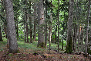 Interior of Perucica primeval forest, one of Europe's few surviving rainforests, with a mix of European beech (Fagus sylvatica) and coniferous trees, Sutjeska National Park, Bosnia and Herzegovina, Ju...  -  Nick Upton