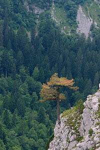 Black pine / Austrian pine (Pinus nigra) growing from limestone outcrop in Sutjeska National Park, Bosnia and Herzegovina, July 2014.  -  Nick Upton