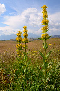 Great yellow gentian (Gentiana lutea ssp. symphyandra) flowering spikes on Mount Piva plateau with the mountains of Sutjeska National Park in nearby Bosnia and Herzegovina, background, near Trsa, Mont...  -  Nick Upton