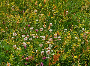 Grass meadow in flower with White clover (Trifolium repens) Red clover (Trifolium pratense)  and Yellow rattle (Rhinanthus minor) Sussex, UK - Stephen  Dalton