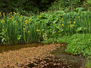 A small farm pond in healthy condition (no pollution or rubbish) with a variety of  aquatic plants including Yellow flag Iris, Butterbur, Greater pondweed and Bogbean, Sussex, UK  -  Stephen  Dalton