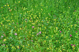 Meadow flowers with Yellow Rattle (Rhinanthus minor) Ribwort Plantain, Red Clover and Buttercup in flower, Holly Farm, Sussex, UK - Stephen  Dalton