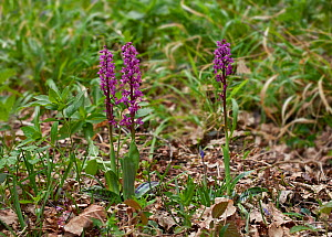 Early purple orchid (Orchis mascula) Sussex, UK  -  Stephen  Dalton