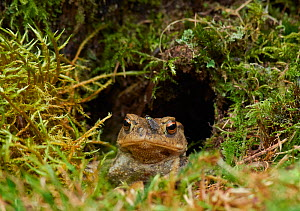 Common toad (Bufo bufo) looking out of hole, Sussex, UK  -  Stephen  Dalton