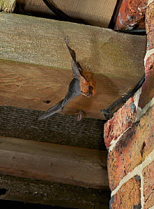 Pipistrelle bat (Pipistrellus pipistrellus) flying from its daytime roost in barn roof, Sussex, UK  -  Stephen  Dalton