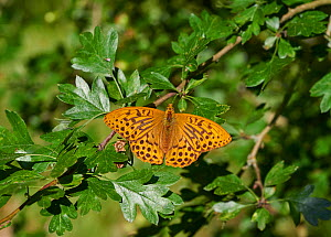 Silver washed fritillary butterfly (Argynnis paphia) resting with wings open, Sussex, UK - Stephen  Dalton