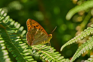 Silver washed fritillary butterfly (Argynnis paphia) resting with wings closed, Sussex, UK - Stephen  Dalton