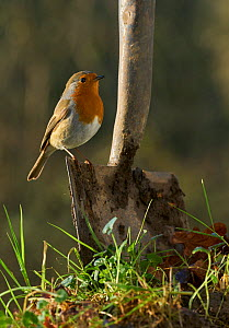 Robin (Erithacus rubecula) perched on spade on the lookout for worms, Sussex, UK January  -  Stephen  Dalton