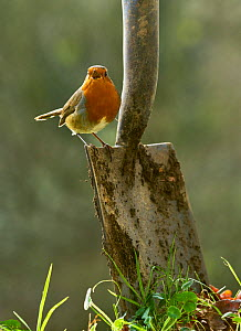 Robin (Erithacus rubecula) singing, perched on spade in garden, Sussex, UK January  -  Stephen  Dalton