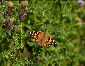 Painted lady butterfly (Vanessa cardui) on Creeping thistle, Sussex, UK - Stephen  Dalton