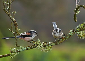 Long tailed tits (Aegithalos caudatus) on lichen covered branch, Sussex, UK December - Stephen  Dalton