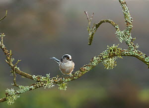 Long tailed tit (Aegithalos caudatus) on lichen covered branch, Sussex, UK December - Stephen  Dalton