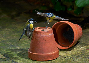 Great tit (Parus major) and Blue tit (Cyanistes caeruleus) squabbling on flower pots, Sussex, UK December  -  Stephen  Dalton