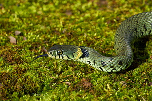 Grass snake (Natrix natrix)  showing forked tongue, smelling and tasting the air, Sussex, UK  -  Stephen  Dalton