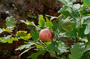 Oak (Quercus robur) apple/ gall caused by a small parasitic wasp, Extermadura, Spain - Stephen  Dalton