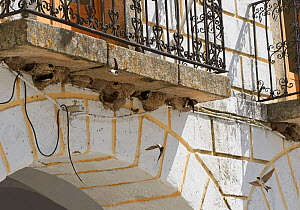 House martins (Delichon urbicum) at communal nesting site under house balcony, Extremadura, Spain, April  -  Stephen  Dalton