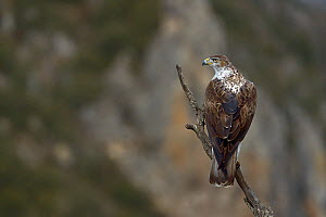 Bonelli's eagle (Aquila fasciata) perching on branch, Catalogne, Spain, February  -  Loic  Poidevin