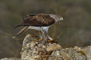 Bonelli's eagle (Aquila fasciata) feeding on Red-Legged partridge (Alectoris rufa) Catalogne, Spain, February  -  Loic  Poidevin