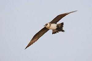 Parasitic Jaeger (Stercorarius parasiticus) in flight, Yukon Delta National Wildlife Refuge, Alaska, USA June  -  Gerrit  Vyn