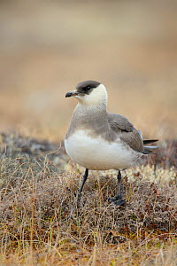 Parasitic Jaeger (Stercorarius parasiticus) light morph perched on tundra, Yukon Delta National Wildlife Refuge, Alaska, USA June  -  Gerrit  Vyn