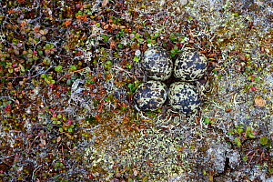Black-bellied Plover (Pluvialis squatarola) looking down on nest and eggs, camouflaged with ground plants, Yukon Delta National Wildlife Refuge, Alaska, USA June  -  Gerrit  Vyn
