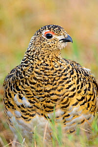 Willow Ptarmigan (Lagopus lagopus) close up of adult female in summer plumage, which  camouflages with  tundra when on nest, Yukon Delta, Alaska, USA June  -  Gerrit  Vyn