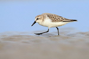 Red-necked Stint (Calidris ruficollis) in basic plumage, Rudong, China, October - Gerrit  Vyn