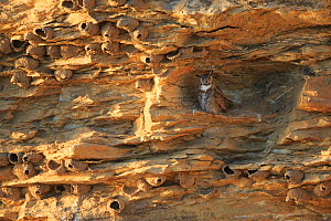 Great Horned Owl (Bubo virginianus) adult female roosting in a cliff covered in Cliff Swallow nests (Petrochelidon pyrrhonata) Sublette County, Wyoming, USA, June - Gerrit  Vyn