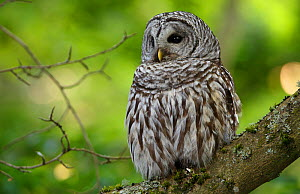 Barred Owl (Strix varia) adult resting in tree, King County, Washington, USA May - Gerrit  Vyn