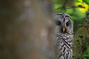 Barred Owl (Strix varia) adult resting in tree, partially hidden by tree trunk, King County, Washington, USA May - Gerrit  Vyn