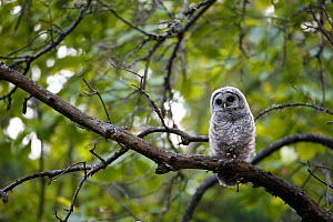 Barred Owl (Strix varia) fledgling resting in tree, King County, Washington, USA May - Gerrit  Vyn