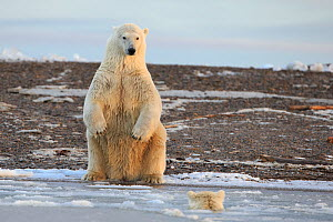 Polar bear (Ursus maritimus) one sitting on hind legs on the shore watching another approach in the water, Barter Island National Wildlife Refuge, Beaufort Sea, Alaska, USA - Gerrit  Vyn