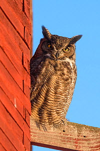 Great Horned Owl (Bubo virginianus) roosting outside of an old barn in early morning sun in freezing temperatures, Okanogan County, Washington, USA, January - Gerrit  Vyn