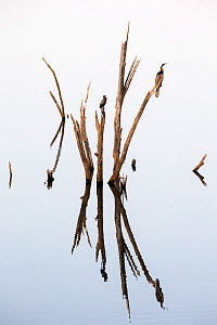 Darters (Anhinga melanogaster) and Little cormorants (Phalacrocorax niger) sitting on a dead tree in a lake, Ranthambore National Park, Rajasthan, India - David  Pattyn