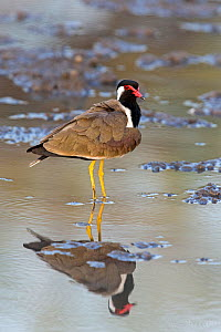 Red-wattled lapwing (Vanellus indicus) in a muddy pool, Rathambore National Park, Rajasthan, India  -  David  Pattyn