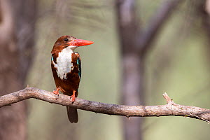 White-throated kingfisher (Halcyon smyrnensis) resting portrait, Ranthambore National Park, Rajasthan, India - David  Pattyn