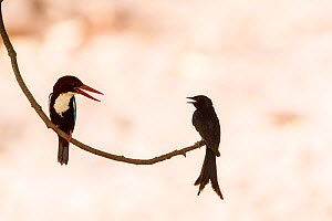 White-throated kingfisher (Halcyon smyrnensis) with Black drongo (Dicrurus macrocercus) Ranthambore National Park, Rajasthan, India - David  Pattyn