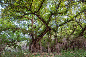 Indian banyan tree (Ficus benghalensis) in jungle habitat, Ranthambhore National Park, Rajasthan, India, May - David  Pattyn