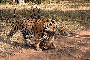 Bengal tiger (Panthera tigris) dragging a kill of a male Chital (Axis axis) across track, Ranthambore National Park, Rajasthan, India - David  Pattyn