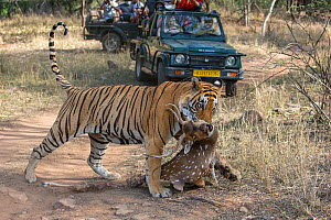 Bengal tiger (Panthera tigris) dragging a kill of a male Chital (Axis axis) across track in front of tourist jeep, Ranthambore National Park, Rajasthan, India - David  Pattyn