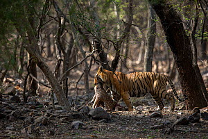 Bengal tiger (Panthera tigris) dragging a kill of a male Chital (Axis axis) through the jungle, Ranthambore National Park, Rajasthan, India - David  Pattyn