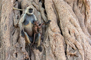 Hanuman / Northern Plains Grey Langur (Semnopithecus entellus) mother and young sitting on the trunk of a Banyan tree, Ranthambore National Park, Rajasthan, India - David  Pattyn