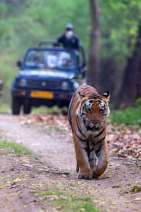 Bengal tiger (Panthera tigris) male walking on  forest track  followed by tourists in jeep, Kanha National Park, Madhya Pradesh, India  -  David  Pattyn