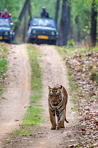 Bengal tiger (Panthera tigris) male walking on a forest track followed by tourists in jeeps, Kanha National Park, Madhya Pradesh, India  -  David  Pattyn