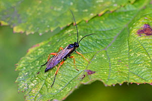 Ichneumon (Pimpla rufipes) male at rest, Brockley Cemetery, Lewisham, London, UK September  -  Rod Williams
